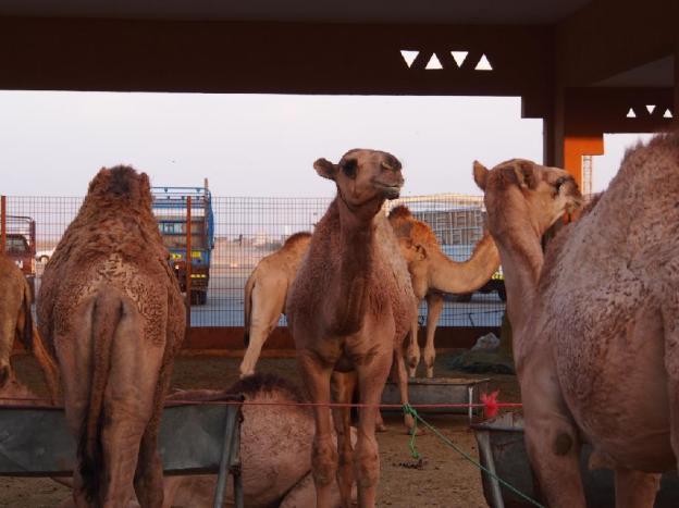 uae_al-ain_camel_market